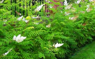 Что посадить в тени у забора на даче – выбираем тенелюбивые растения и кустарники